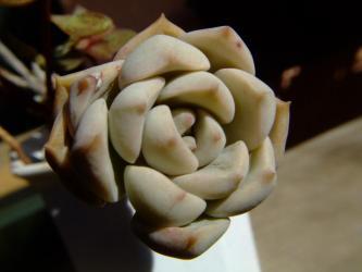 エケベリア 白牡丹(はくぼたん)(Echeveria cv. HAKUBOTAN?)葉挿しからできあがりました!丈夫でお馴染みエケベリア2012.02.04