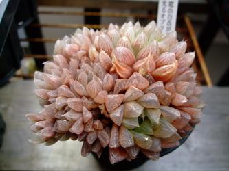 屋外軒下2月の紅葉~ハオルチア 窓の白点が白く光って見える 光るオブツーサ (Haworthia hybrid)=雪の花(H. turgida v. pallidifolia)×オブツーサ(Haworthia obtusa)2012.02.09