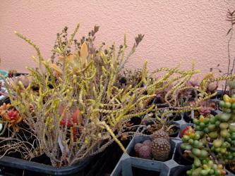 真冬~クラッスラ 青鎖竜(セイサリュウ)(crassula muscosa)(Crassula lycopodioides var. pseudolycopodioides) 2012.02.14
