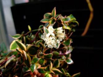クラッスラ サルメントーサ(Crassula sarmentosa)白いな花が咲いています。緑と黄色の斑入りがキレイ、寒さに弱い2012.02.12