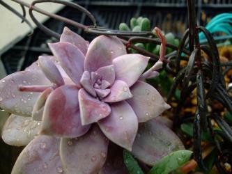 グラプトペタム ペンタンドルム スペルブム(スパーバム)(Graptopetalum pentandrum ssp. superbum) 蕾が見えます。2012.02.12
