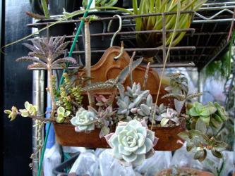 多肉植物ミニ寄せ植え~横20cm×縦5cm×高4cm少ない根土でしっかり根が付きました!2012.02.18