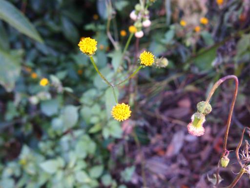 20131130・初冬散歩植物14・コセンダングサ