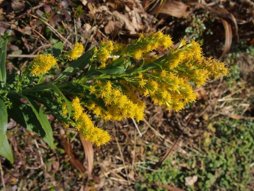 20131201・緑の森植物06・セイタカアワダチソウ