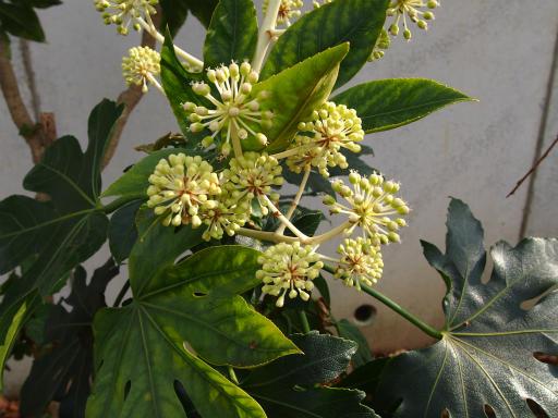 20131205・狭山湖植物2・ヤツデ