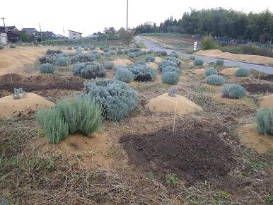 畑のラベンダー植替え